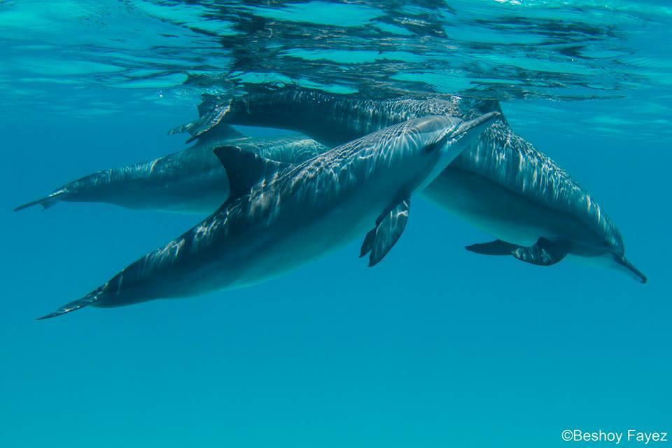 الدلافين فى منطقة سطايح مرسى علم